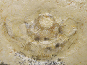 この石はジュラストーンといってジュラ紀の地層から採れる石なので時にはアンモナイトの化石などが入っていることも…
