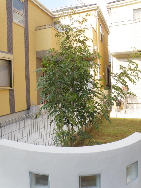 シンボルツリーとして植えたシマトネリコもお庭の雰囲気にとけこんでいます。